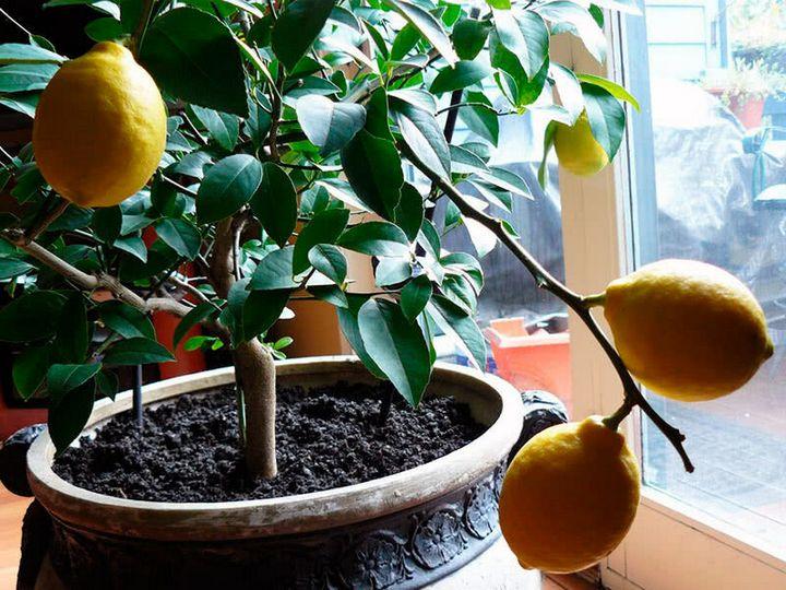 Как вырастить лимон дома из косточки? 2