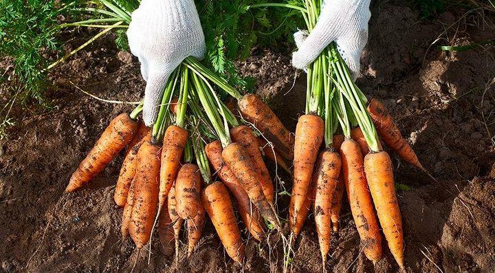 Как вырастить морковь «корейским способом»? 2