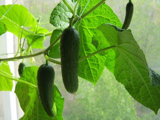 Как вырастить огурцы на балконе? 1
