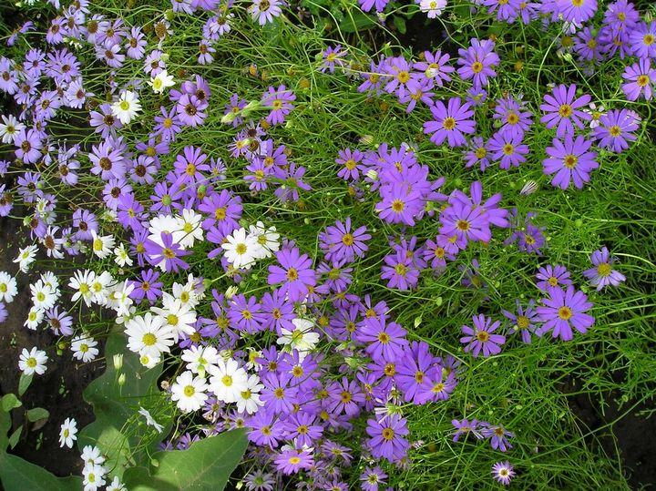 Красивые цветы, которые можно посадить у себя на дачном участке 18