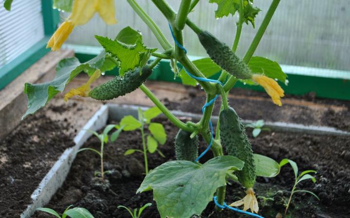 Метод, обеспечивающий хороший урожай огурцов: легко, просто, доступно 3