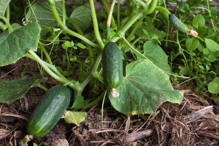 Метод, обеспечивающий хороший урожай огурцов: легко, просто, доступно 4