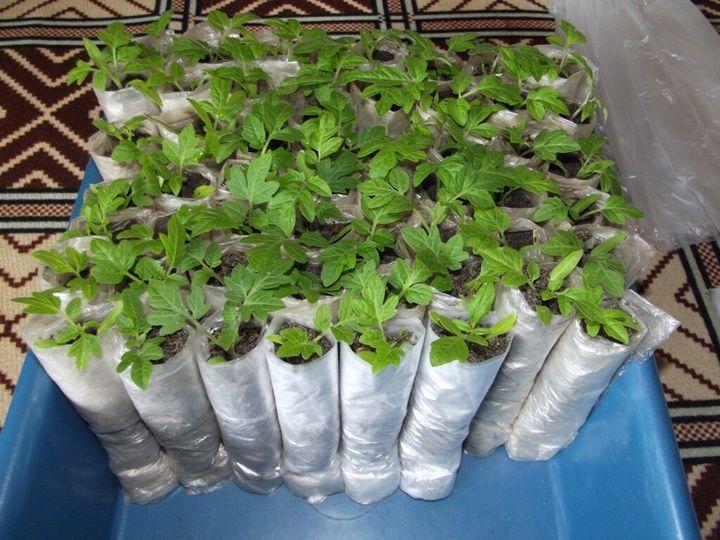 Необычный способ выращивания рассады 5