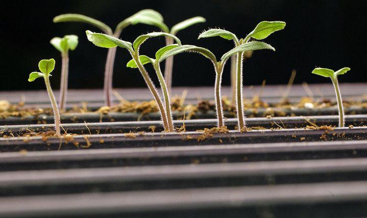 Необычный способ выращивания рассады 1