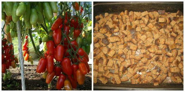 Необычный способ выращивания томатов 2