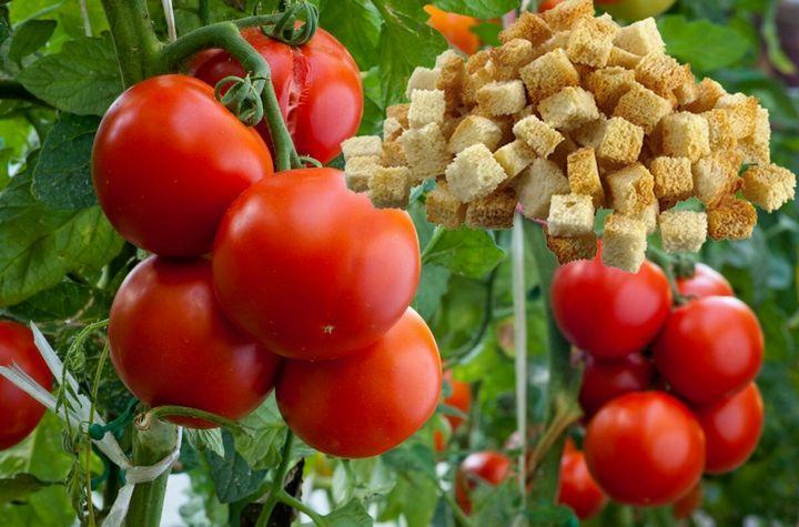 Необычный способ выращивания томатов 1