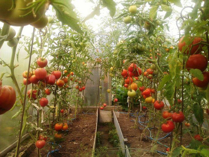 Необычный способ выращивания томатов 4