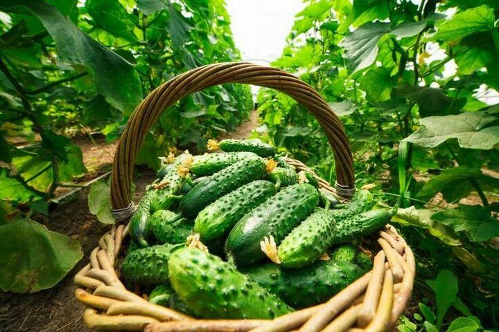 Особенности выращивания огурцов 1