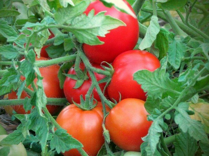 Пятёрка лучших сортов низкорослых томатов для высадки на огороде 3