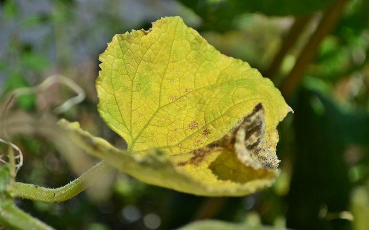 Пожелтение листьев у огурцов по краям: с чем это связано и что делать? 2