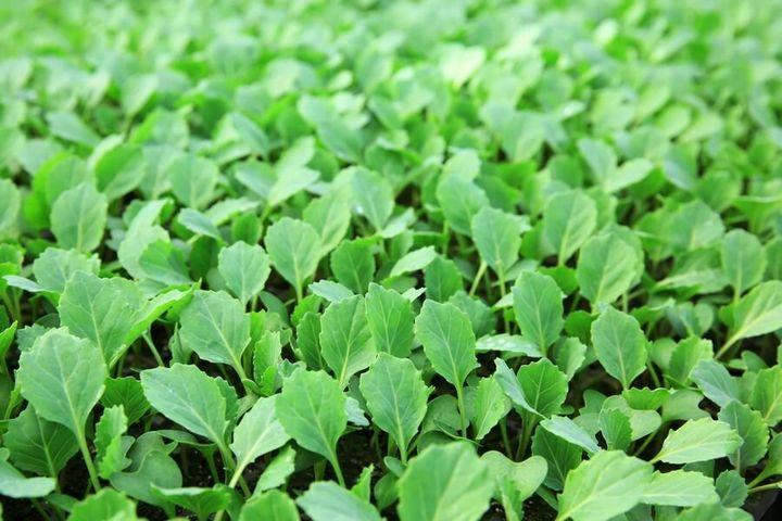 Правила выращивания сильной рассады капусты 2