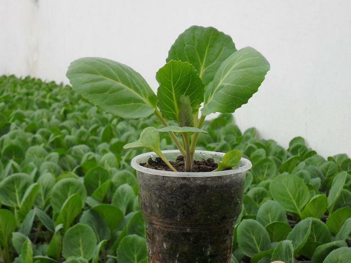Правила выращивания сильной рассады капусты 3
