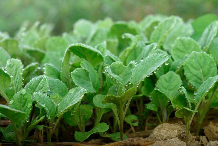 Правила выращивания сильной рассады капусты 1
