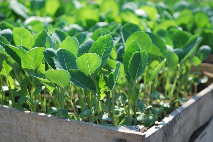 Правила выращивания сильной рассады капусты 4