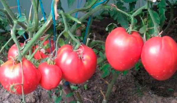 Салатные сорта помидоров для теплиц 3