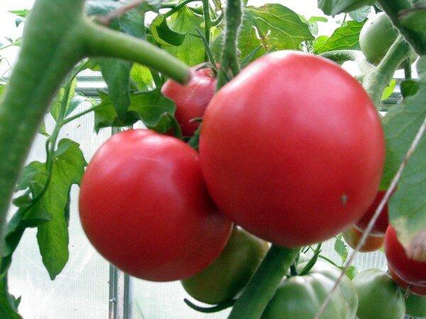 Салатные сорта помидоров для теплиц 4