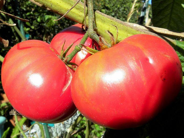 Салатные сорта помидоров для теплиц 7