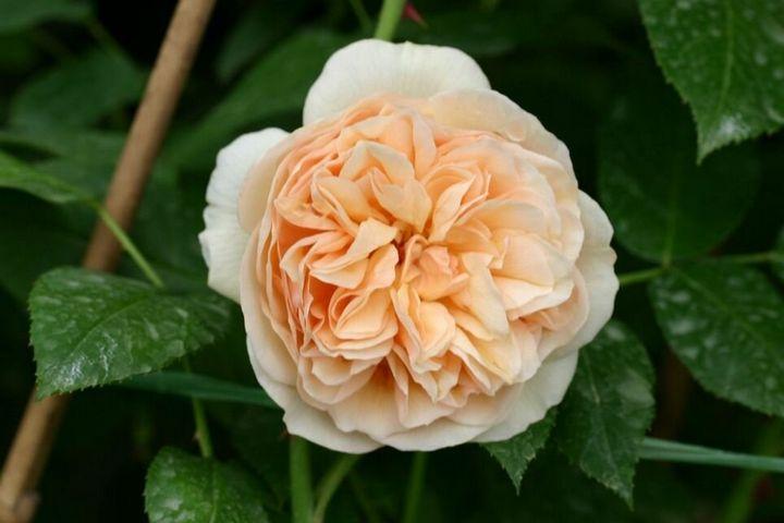 Самые дорогие и редкие цветы в мире 6