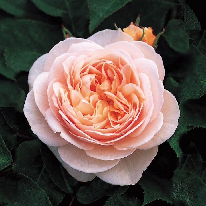 Самые дорогие и редкие цветы в мире 7