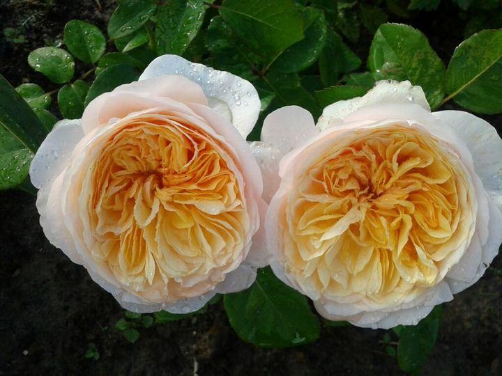 Самые дорогие и редкие цветы в мире 8