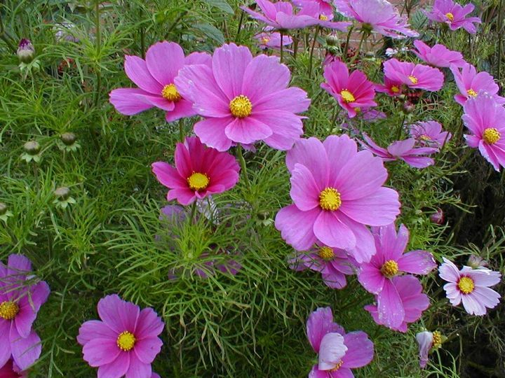 Самые живучие растения для клумб на даче 12