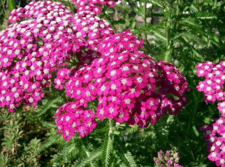 Самые живучие растения для клумб на даче 24