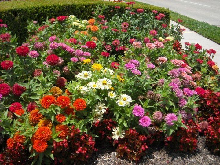 Самые живучие растения для клумб на даче 31