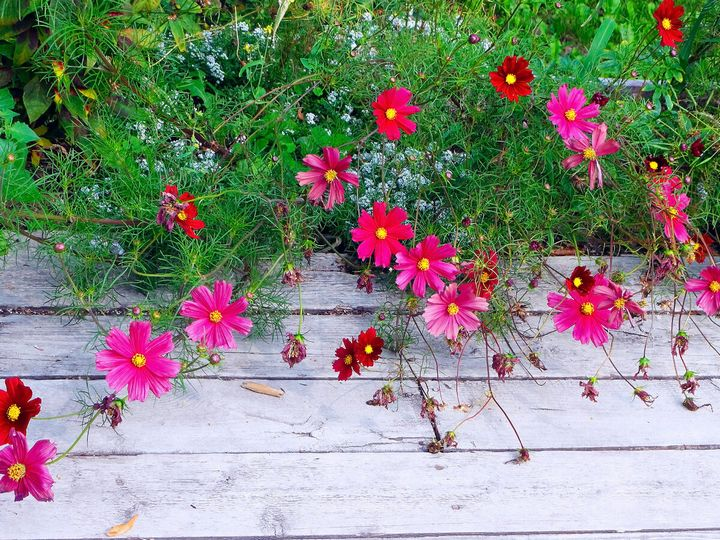 Самые живучие растения для клумб на даче 13
