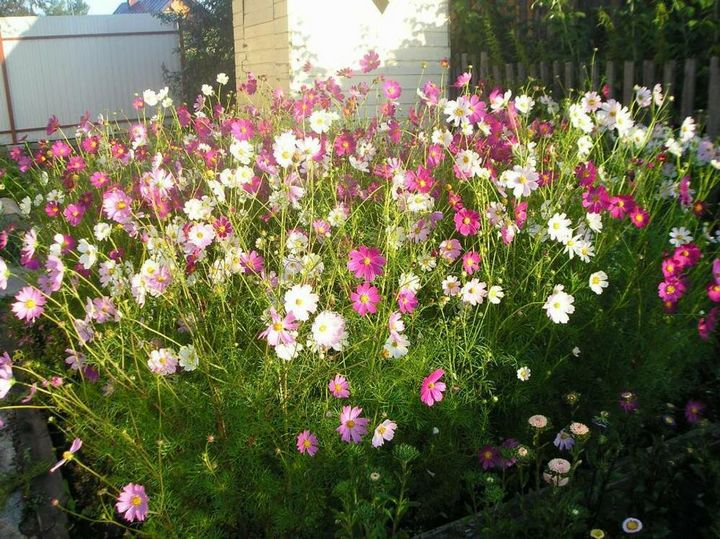 Самые живучие растения для клумб на даче 10