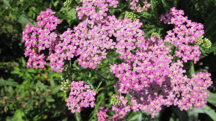 Самые живучие растения для клумб на даче 22