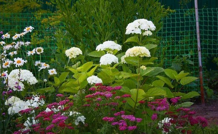 Самые живучие растения для клумб на даче 23