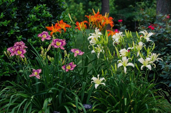 Самые живучие растения для клумб на даче 15
