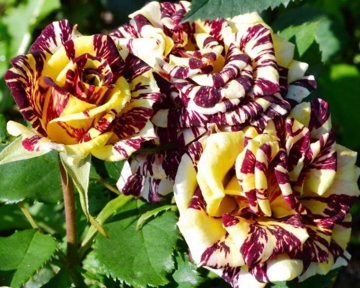 Сорта роз с необычной и удивительной окраской 7