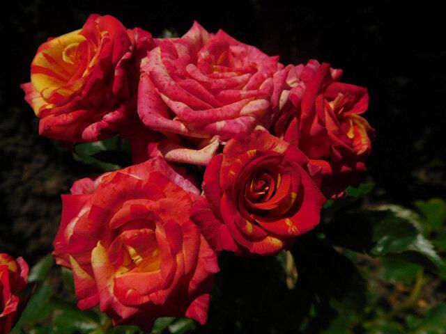 Сорта роз с необычной и удивительной окраской 6