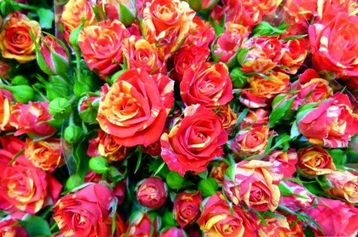 Сорта роз с необычной и удивительной окраской 5