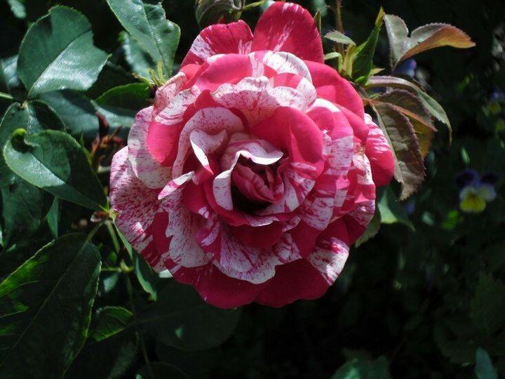 Сорта роз с необычной и удивительной окраской 9