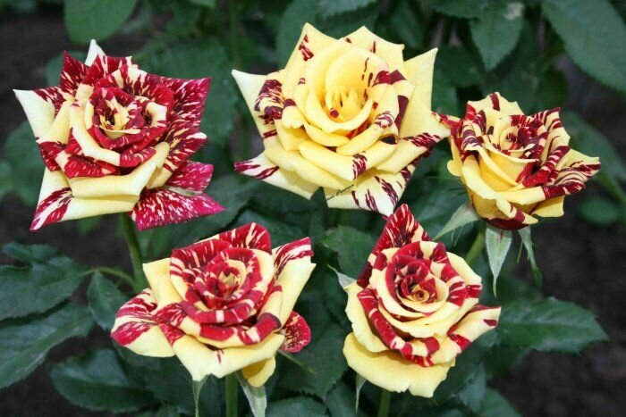 Сорта роз с необычной и удивительной окраской 8