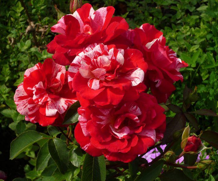 Сорта роз с необычной и удивительной окраской 1
