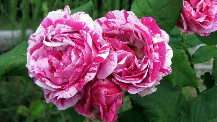 Сорта роз с необычной и удивительной окраской 2