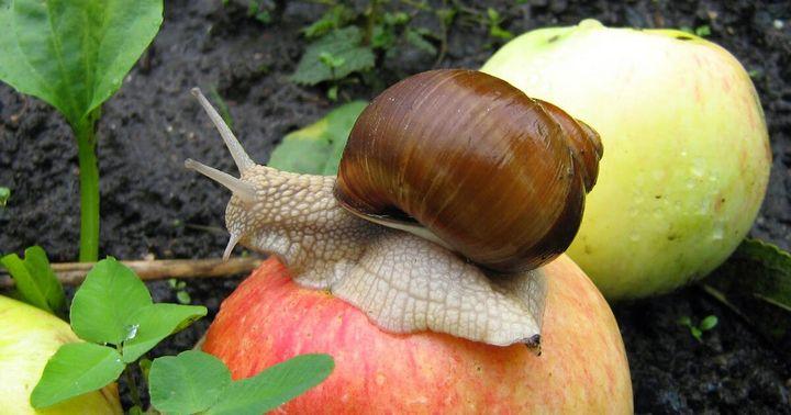 Топ-5 способов защитить растения от улиток и слизней 1