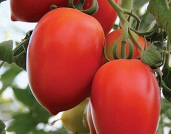 Устойчивые сорта томатов, не требующие большого ухода 5