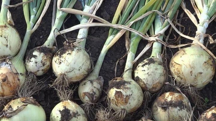 Выращиваем из семян «чернушки» крупный лук за один сезон 5