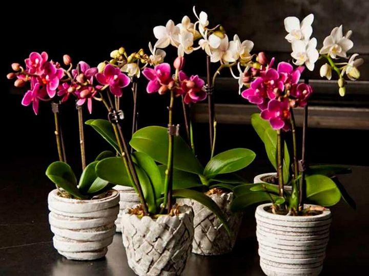 Высыхание корней у орхидеи: причины и решения 4