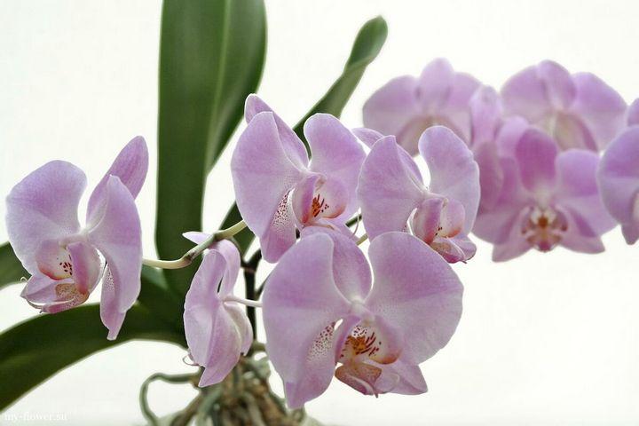 Высыхание корней у орхидеи: причины и решения 5